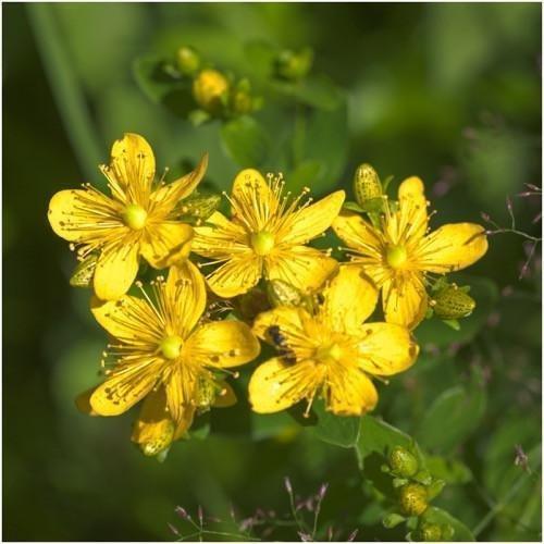 Paquet de 500 graines, Graines Millepertuis Herb (Hypericum perforatum)
