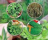 Lot de graines herbes aromatiques à faire pousser Basilic grand vert Ciboulette Persil commun Thym d'hiver