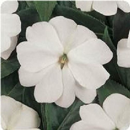 JustSeed - graines de fleurs Impatiente Nouvelle-guin e Divine Blanc F1 40 graines Gros Lot