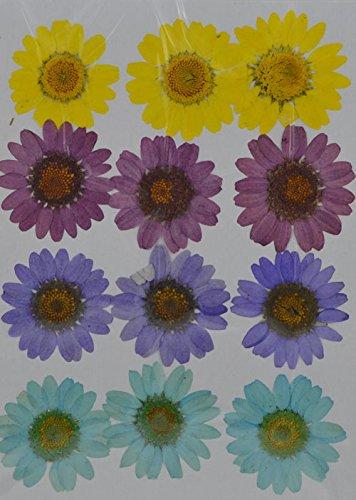 handi-kafu giallo marrone Daisy Real pressato fiori secchi