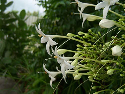 GETSO 50 Samen Cork BÄUME Jasminbaum Hortensis Jasmin duftende Blume weiß frisch