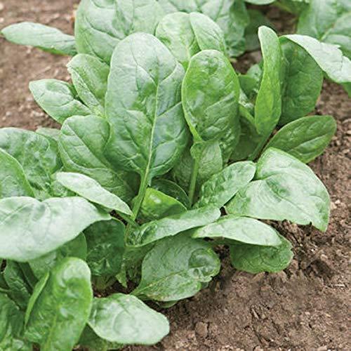 David's Garden Seeds Spinach Corvair 9789 (Green) 200 Non-GMO, Open Pollinated Seeds