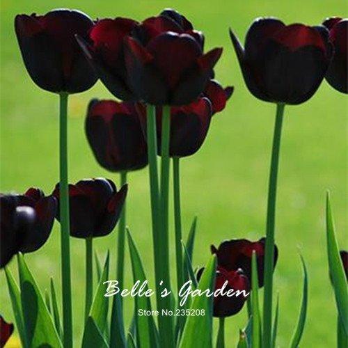 5pcs Rare Dark Purple Tulip Bulbes Bonsai fleur de tulipe Tulipa 'Night Queen' jardin en pot Plantes vivaces bulbes