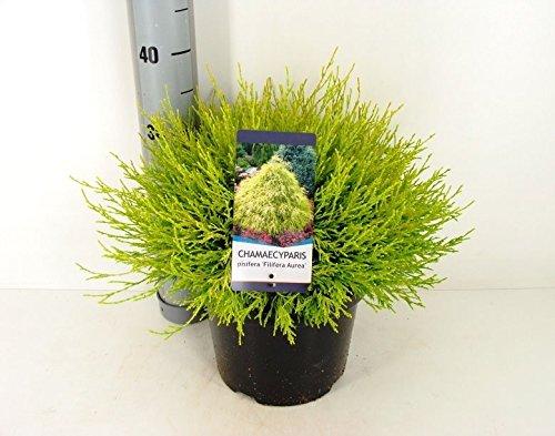 Gelbe Fadenzypresse - Chamaecyparis pisifera Filifera Aurea - verschiedene Größen (40-50cm - 5 Ltr.)
