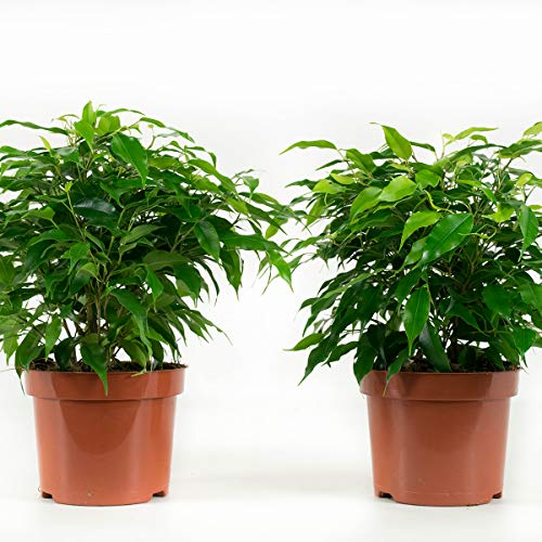 Plantas de interior de Botanicly – 4 × Ficus de hoja pequeña – Altura: 28 cm – Ficus benjamina Kinky