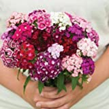 Volcano Mix ORGANIC Dianthus Seeds (Dianthus barbatus) 10+ Rare Seeds + FREE Bonus 6 Variety Seed Pack - a $29.95 Value! Packed in FROZEN SEED CAPSULES for Growing Seeds Now or Saving Seeds For Years