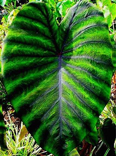 Shopmeeko Heirloom Alocasia Macrorrhiza grün Riesen-Taro Zimmerpflanzen Elefanten-Ohr Taro Bonsai Gemüse selten Calla Bonsai 20 Stück/Pack: mehrfarbig
