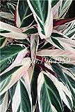 ShopMeeko SEMILLAS: Bonsai Ficus benjamina 50 PC Bonsái Plantss maceta de Bonsai variedad completa de bricolaje plantas del jardín de fácil crecimiento: 3