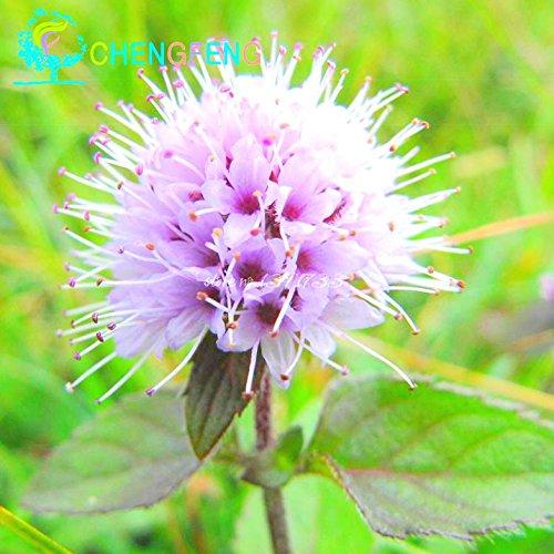 100 Pieces A Lot Mint Graines de légumes verts Balcon pot Plantes Aromatiques Peppermint Plante vivace à fleurs bricolage jardin