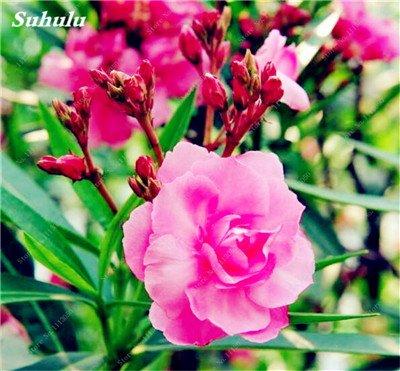 150 Pcs Nerium Graines Oleander plantes en pot semencier japonais Jardin Décoration Bloom Graine Facile à cultiver purifient l'air 5