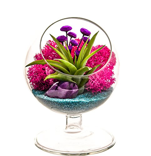 Bliss Gardens Air Plant Terrarium - 4 Round Glass Pedestal Kit - Turquoise Passion