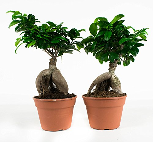 Ficus Ginseng Microcarpa | 2 plantas | Pequeño Bonsai | Planta interior | Altura 40 cm | Maceta 17 cm | Fácil mantenimiento