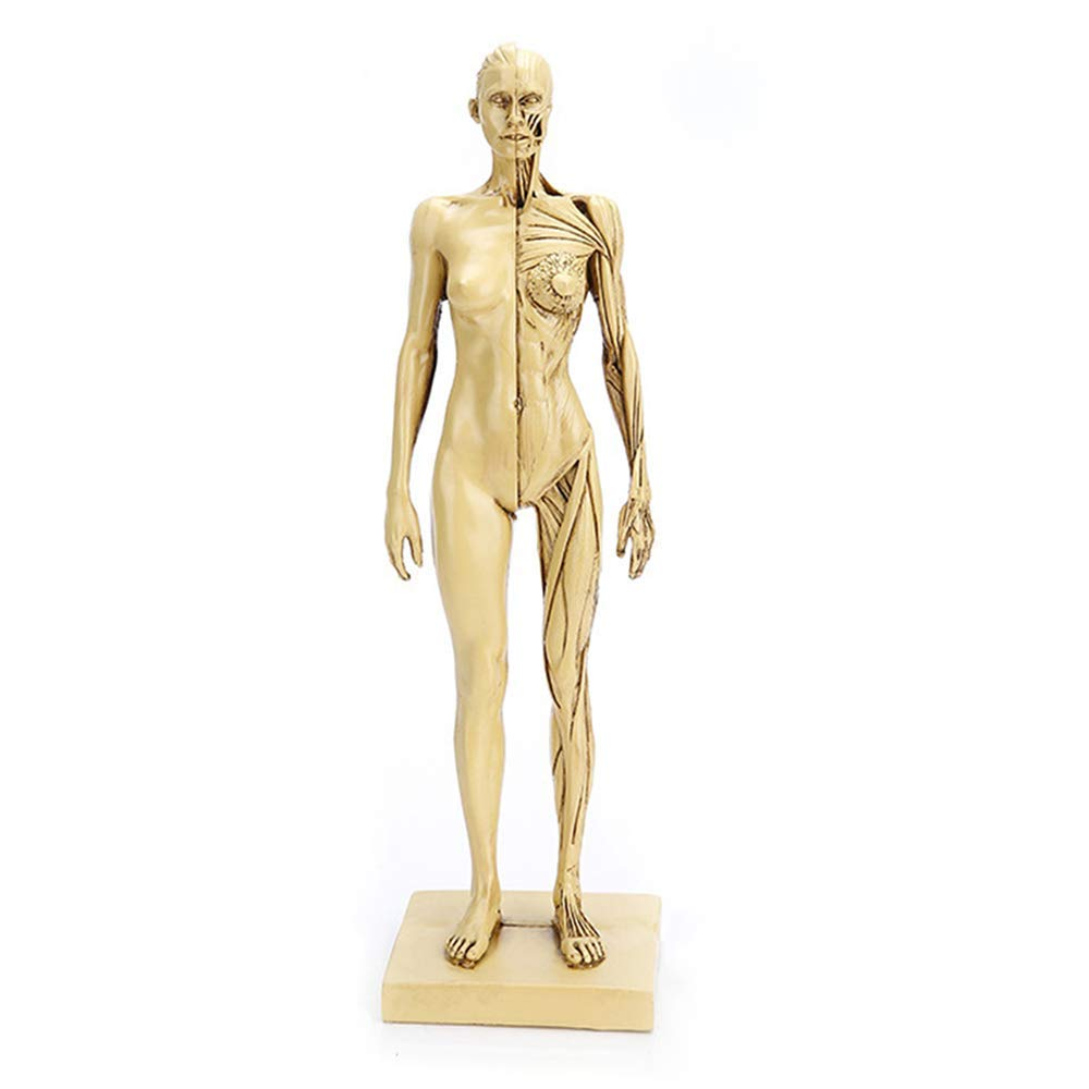 ZLF Female Max 59% OFF Anatomy Figure Soldering High Mannequin Mus Human Precision Art