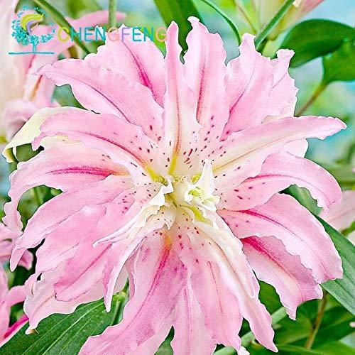 Green Seeds Co. 50 Pcs/Sac Plantes En Pot Lily plantes rares Fleurs Plantes Intérieur Bonsaï Diy plante Semillas Mixed Colors emballage 2016: Noir