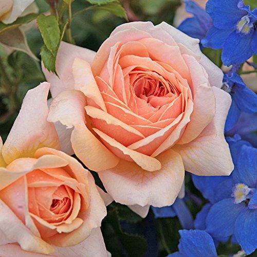 Kordes Rosen Garden of Roses Beetrose, creme pastellrosa, 12 x 12 x 40 cm