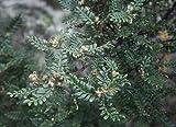Weinmannia tomentosa Encenillo Arbre Rare! Seulement Ebay Source! 10 graines