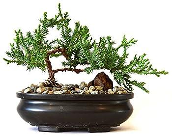 Best 20 Bonsai Trees Kits Salt Lamp City