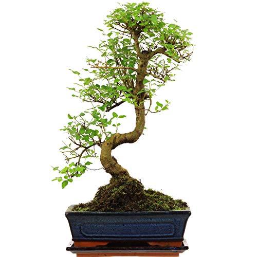 Chinesischer Liguster, Bonsai, 11 Jahre, 47cm