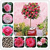 potseed . grandi fiori 100% reale camelia fiori in vaso della pianta 24 colori disponibili casa e giardino 2pcs / pack: mix