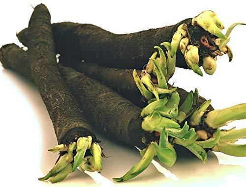 Gomphrena Lila Globe Blumensamen (Gomphrena Globosa) 100 + Seeds