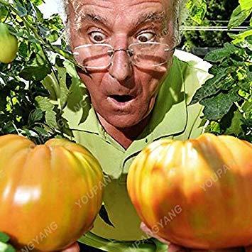 VISTARIC Lila: 1 Packung 100 Samen/Packung Perennial Tomato Riesige Bäume im Freien Gewächshaus verfügbar Fleischtomate Samen In Bonsai Freies Verschiffen Lila