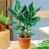 Ficus Robusta – Arbre à caoutchouc   Plante verte de qualité   En pot 30-40 cm