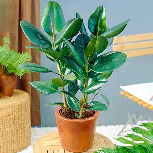 Ficus Robusta - Árbol del Caucho | Planta de Interior de Alta Calidad en Venta | 30-40 cm en Maceta