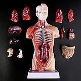 ZAMAX Modelo de Estudio 1pc Humano Torso Cuerpo Modelo anatomía anatómica órganos internos para la enseñanza