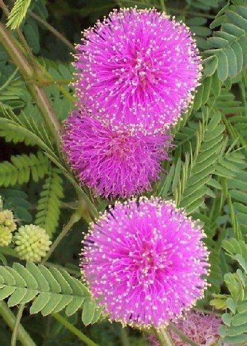 TROPICA - Großblütige Mimose 'Pink Sparkles' (Mimosa nuttallii) - 30 Samen
