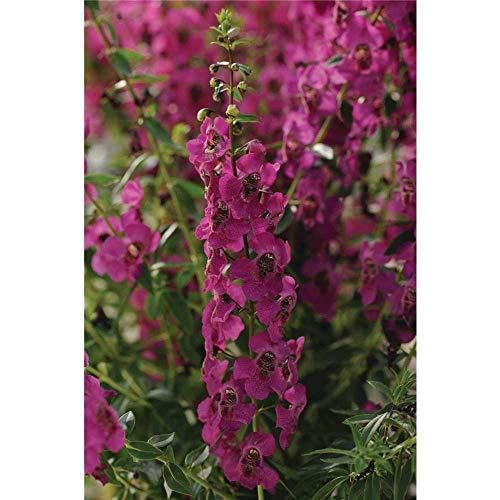 Angelonia angustifola, Engelsgesicht in purple - pink - Topf 11 cm, in Gärtnerqualität von Blumen Eber - 11 cm