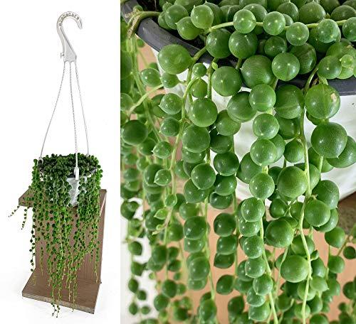Isenzo Lebende Topfpflanze Senecio Rowleyanus Perlenschnur hängend Perlenkette im Topf Zimmerpflanze Zimmer Dekopflanze Geschenkidee