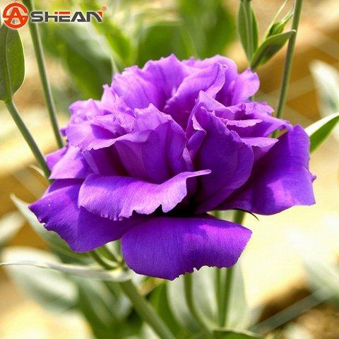 Violet Eustoma Graines vivaces plantes à fleurs Lisianthus Multicolor pour le bricolage Home & Garden - 100 PCS