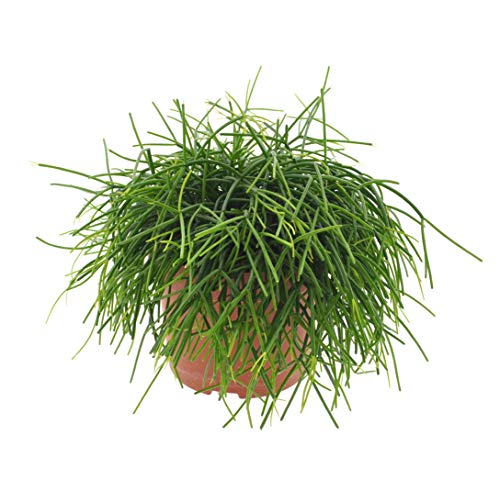 Kaktus – Rhipsalis baccifera cashero...