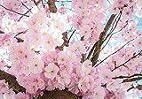 Forwall Fototapete Vlies Tapete Wanddeko Blumen Natur - Kirschblüte Moderne Wanddekoration 13283VEL 152,5cm x 104cm Schlafzimmer Wohnzimmer