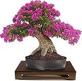 Lagerstroemia indica Crespón Myrtle Bonsai 10 semillas florecientes Raras increíble