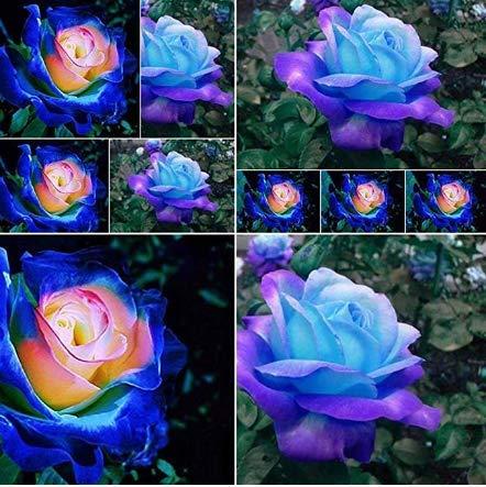 Beautytalk-Garten 50pcs winterharter Rose Samen Raritäten Blumensamen mehrjährig Rose Saatgut Schnittblumen Duftend Blumen für Balkon, Garten