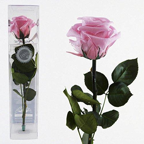Decoflorales® - Eine echte, konservierte Rose. Unvergängliche Rose. Haltbare Rose. Ewig blühende Rose. Farbe rosa, Länge 25-27 cm
