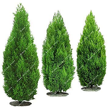 GEOPONICS 50 PC heiße verkaufende Thuja Samen Platycladus ist Lebensbaum Samen Conifer sät DIY Hausgarten