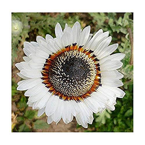 Venidium Weiß - Afrikanische Sommerblume - 100 Samen