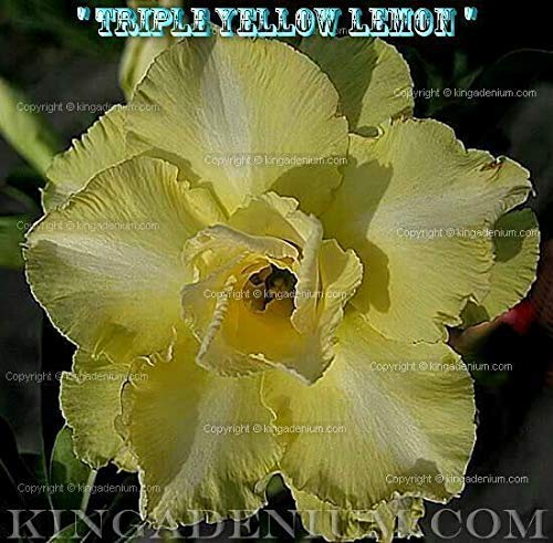 PLAT FIRM GRAINES DE GERMINATION: Adenium obesum Desert Rose Rosy\