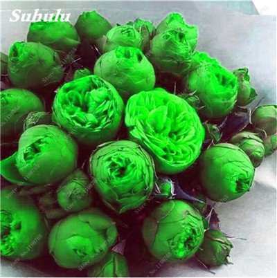 Chinese National Flower 5 graines Pcs Pivoine Plante en pot Paeonia suffruticosa Arbre Terrasse Cour Illuminez votre jardin personnel 19