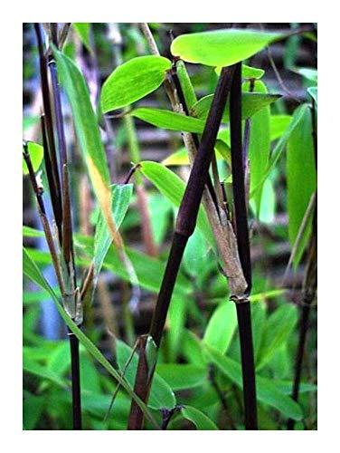 Fargesia yunnanensis - winterharter Bambus - 15 Samen
