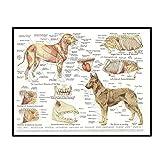 Swarouskll Muskeln & Organe des Hundes Tier Anatomie