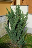 Wacholder Juniperus chin.'Blaauw' im Topf gewachsen ca. 30-40cm