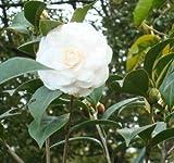 Camélia japonais blanc (Camellia japonica) Arbre plante -USA- 5 graines