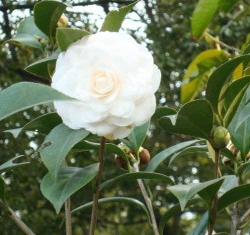 Weiß Japanische Kamelie (Camellia japonica) Baum Pflanze -USA- 5 Samen