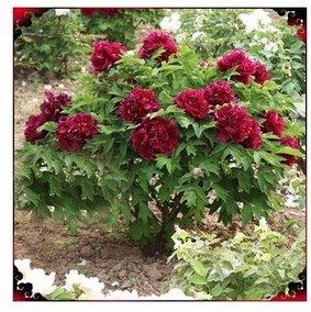 24 types Jolie pivoine Graines 15pcs/pack de haute qualité Pivoine Graines de fleurs pour le jardin de la maison