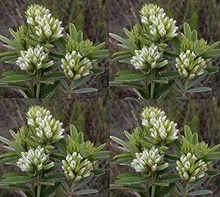 Seeds Lespedeza Capitata Round Head Bush Clover Cream Bloom Color Get 50 Seeds #SAP01YN