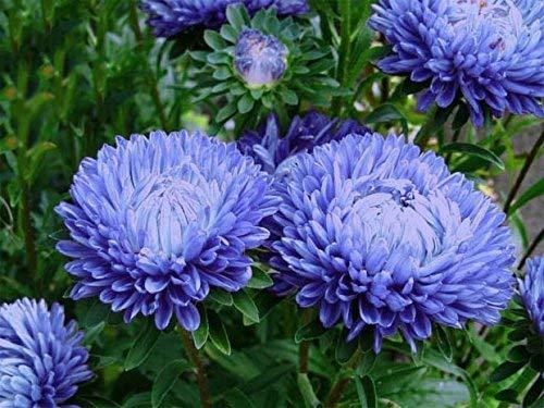 Peonía azul aster - 500 semillas