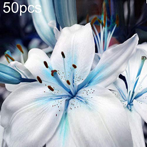 lamta1k 50Pcs Blaue Lilienzwiebeln Samen Zierpflanze Lilium Blumengarten Balkon Dekor - Lily Seeds